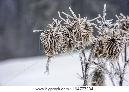 frozen flowers in winter on a blury background of forest and meadow in snow