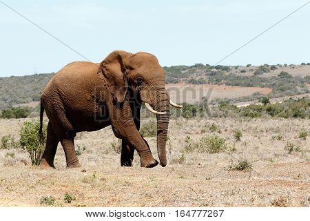 Walking Big Male African Bush Elephant  in Addo