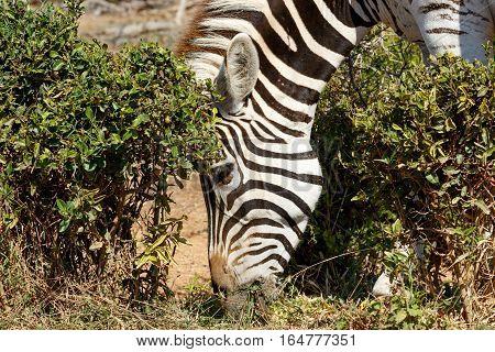 Burchells Zebra Eating Grass in Addo South Africa