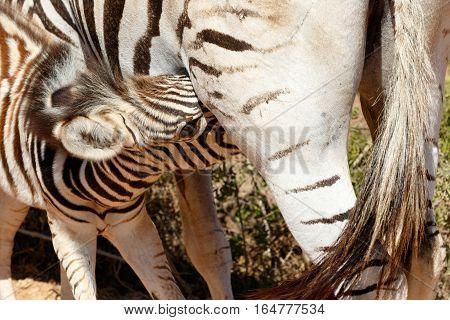 Baby Burchell's Zebra Drinking From Mom