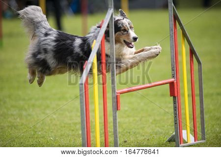 Blue merle dog on agility jump. Border collie, australian shepherd on a jump, competing on an outdoors agility competition. Grassy field in the background