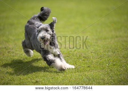 Playful Bearded Collie jumping on green grass. He has short coat