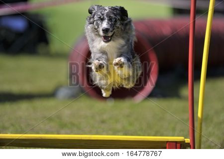 Dog with blue eyes jumping over obstacle on agility competition