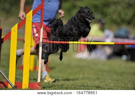 Black Croatian Sheepdog on agility course jumping over red-yellow obstacle