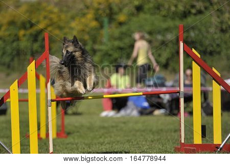Lovely Belgian shepherd - Tervueren jumping on agility competition. His jump is elegant and thorough.