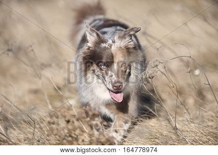 Cute Australian Shepherd walking in a tan meadow. Dog is red merle color with blue and brown eyes. He has nice brown mask on his face