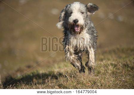 Wet Bearded Collie running in the meadow. He has short coat for easier treatment of his coat