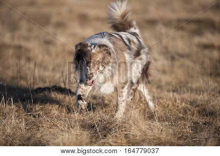 Australian Shepherd walking in nature. Dog is red merle color with blue and brown eyes. It is camouflage background of brown meadow. He has nice brown mask on his face and brown markings on body