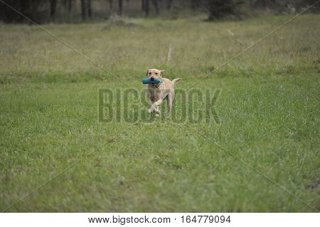 Yellow Labrador retriever on working test carrying standard green dummy. He is running on green meadow back to the handler