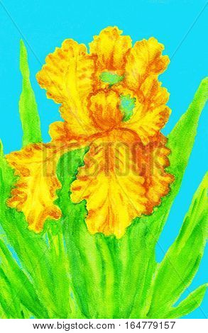 Yellow iris on blue, hand painted picture watercolour.