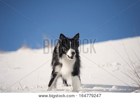 Border Collie waiting for a command in deep snow