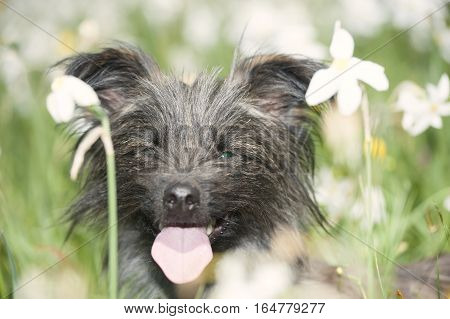 Grey, funny, tousled Pyrenean Sheepdog with green eyes smiling in field of narcissus flowers