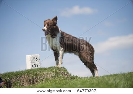 Border Collie on top of the hill. It seems like he is mourning for the dead owner