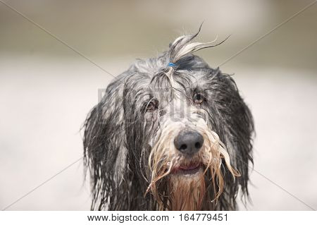 Very wet bearded collie. He has cute ponytail on his head tied with blue elastic band.