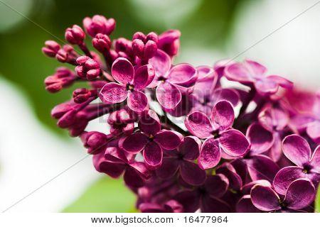 Reihe von violett Lila Blume
