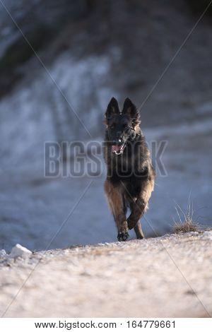 Puppy Belgian Shepherd running (long hair dog)