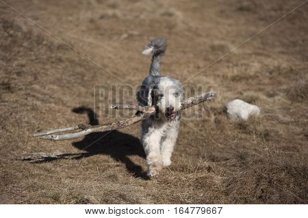 Bearded Collie dog carrying a big stick