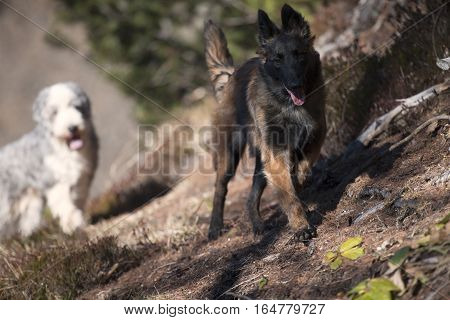Dogs enjoying free time and walking in forest