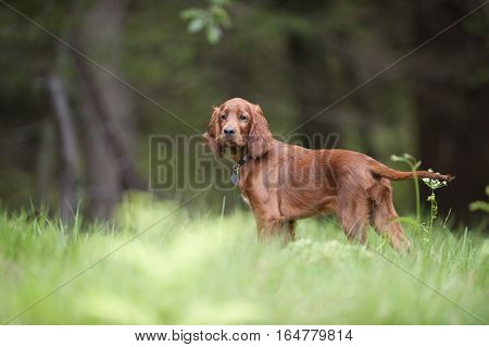 Cute Irish Setter puppy standing in forest and waiting to start with his hunting abilities