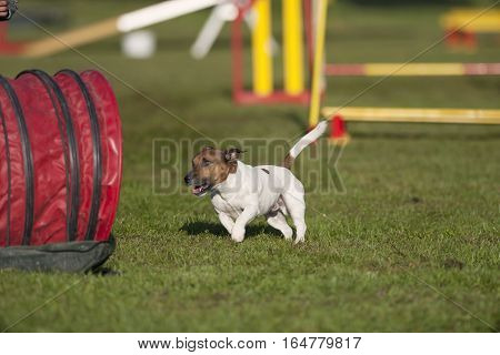 Jack Russell Terrier running on agility competition, he is on the way to the tunnel
