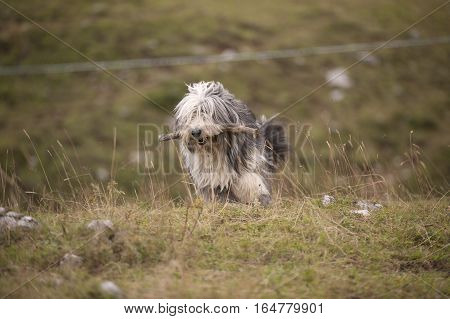 Long haired purebred dog bearded collie walking with wooden stick in his mouth. He is not comb and ready for everyday walks