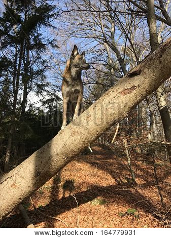 Dog playing circus in nature. He is standing on tree like a bird
