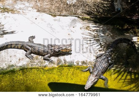 Two crocodiles bask in the sun. Crocodile farm Thailand