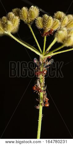 Ants Feeds On Aphid Colony