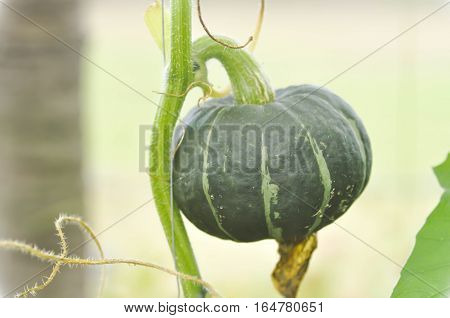 fresh pumpkin or Cucurbita moschata Decne in the vegetable garden