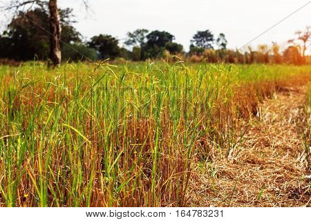 The rice grains in a field with clear skies during the day.