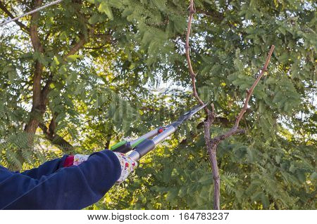 A person cuts the branch of the vine with the pruning shears