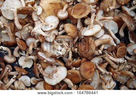 Farm fresh shiitake mushrooms displayed for market