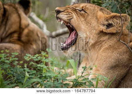 Lion Cub Yawning In The Grass.