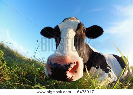 cow muzzle close up outdoors over blue sky