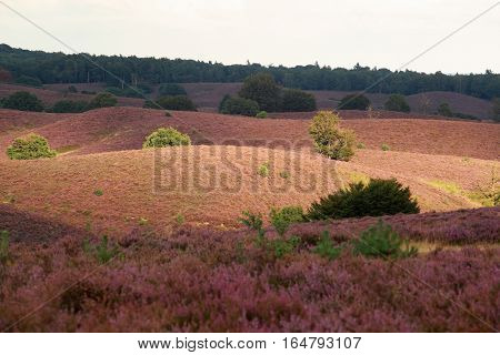 sunlight over hills with pink heather flowers