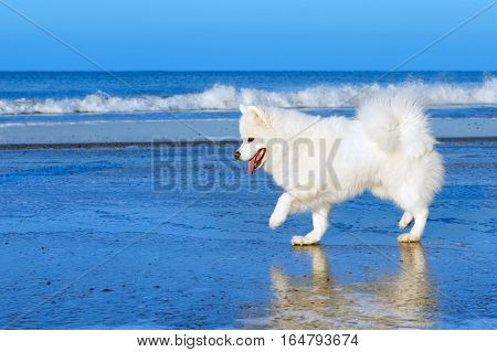 white Samoyed dog walking on the ice near the sea in winter