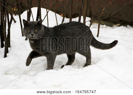 Winter. Ruffled big fat grey cat walking on snow. The cat pressed a forepaw.