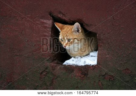 A young ginger kitten. The animal looks out from the hole leading to the basement of the old house.
