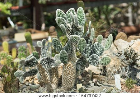 Prickly pear melkoporistaja (lat. Opuntia microdasys) is a plant of the family Cactaceae
