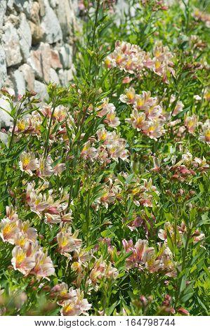 Alstroemeria hybride (lat. Alstroemeria) bloem bed in de buurt van de muur