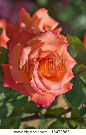 Bloem oranje rozen groeien in de bloem bed in het Park