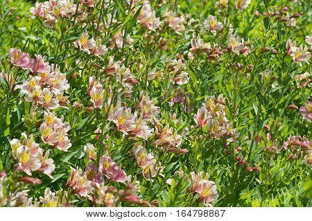 Flowerbed met alstromeria hybride (lat. Alstroemeria) in South Park
