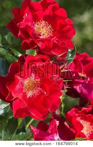 Een takje van de heldere rode rozen (lat. Rosa) met een lichte bloemblaadjes