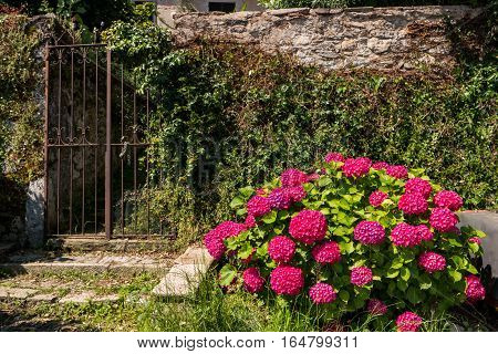 Bush with bright flowers. Stone wall and gate. How to grow hydrangeas.