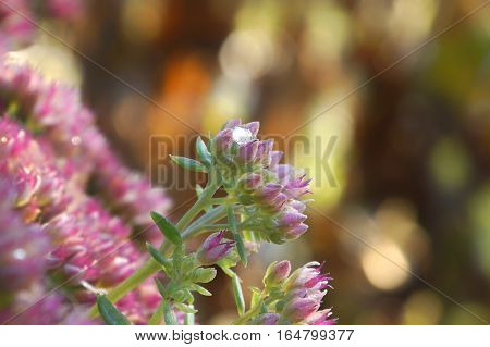 Sedum spectabile closeup autumn perennial with a drop of frozen water in the inflorescence