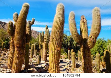 Close up a huge cacti in the area of Jujuy close to Tilcara in Argentina South America