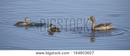 Yellow billed duck on a pond of blue water with two ducklings