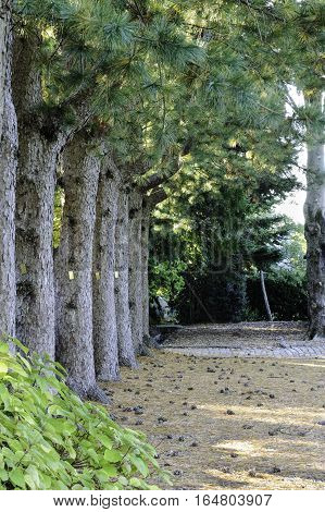 Row of Korean Pines lines path at Allen C. Haskell Public Gardens