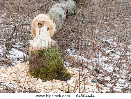 The results of what a busy beaver can cause to trees.