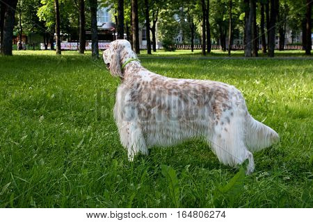 English setter -  purebred white furry dog with brown spots isolated summer green grass